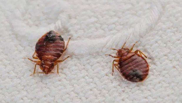 punaise de lit sur textile